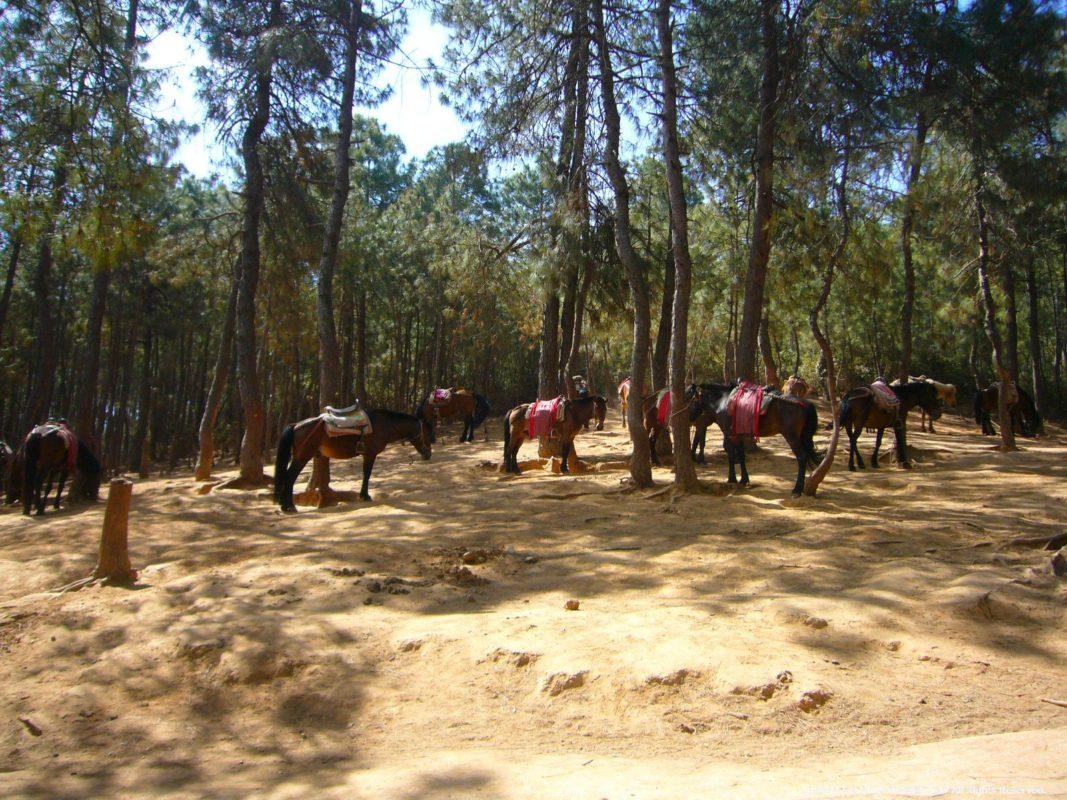 麗江の茶馬古道ツアーの馬